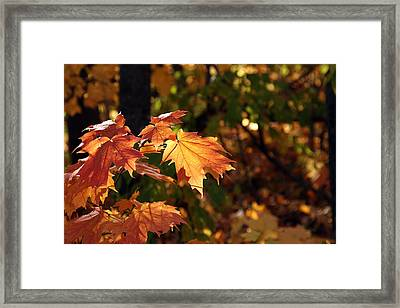 Maple Leaf Glow Framed Print by James Hammen