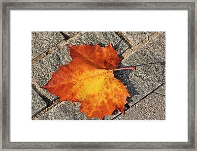 Maple Leaf In Fall Framed Print by Carolyn Marshall