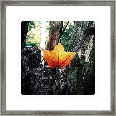 Maple Leaf Framed Print by Natasha Marco