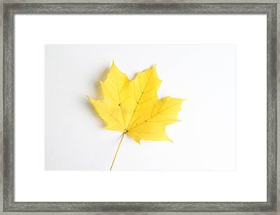 Maple Leaf Framed Print by Photo Researchers