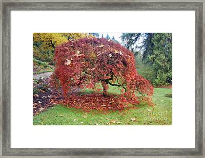 Maple Shower Framed Print
