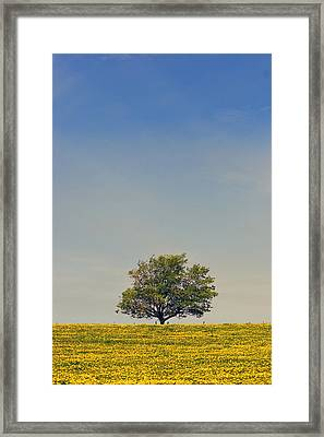 Maple Tree And  Dandelion Field, Prince Framed Print by John Sylvester