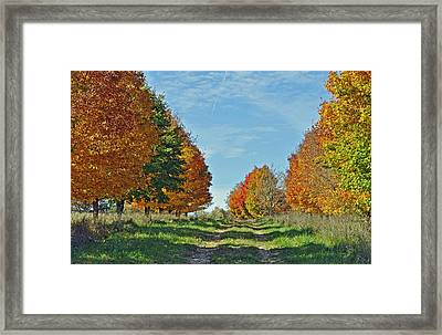 Maple Tree Lane Framed Print by Rodney Campbell