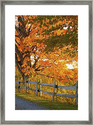 Maple Trees And A Rail Fence In Autumn Framed Print by David Chapman