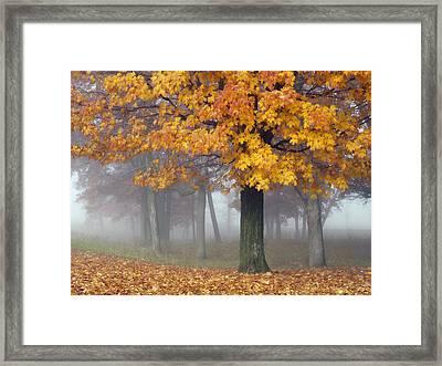 Maples In The Mist Framed Print