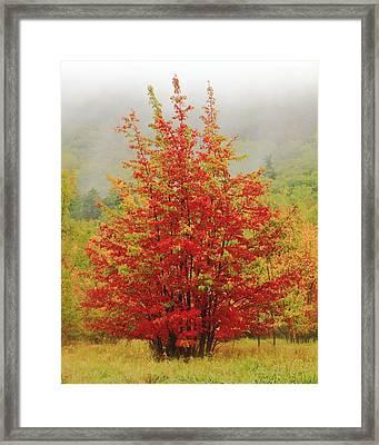 Maples In The Mist Framed Print by Roupen  Baker