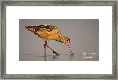 Marble Godwit Feeding Framed Print by Max Allen