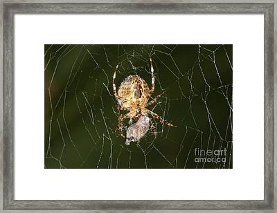 Marbled Orb Weaver Spider Eating Framed Print by Ted Kinsman