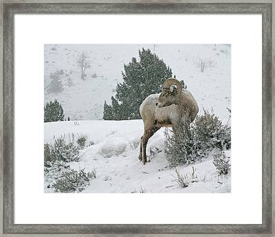 Framed Print featuring the photograph March Ram by Katie LaSalle-Lowery