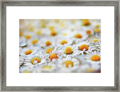 Marguerite Flowers Framed Print by Uccia_photography