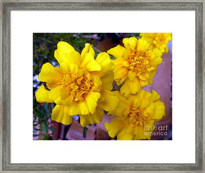 Marigold 3 Framed Print by Alys Caviness-Gober