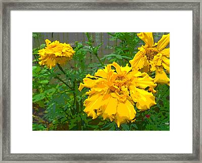 Marigold Flowers With Ruffled Petals Framed Print by Padre Art