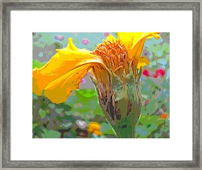 Marigold Going To Seed Framed Print by Padre Art