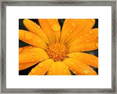 Marigold Framed Print by Jo