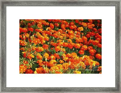 Marigold Framed Print by Jutta Maria Pusl