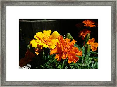 Framed Print featuring the photograph Marigold Morning Glory by Jim Sauchyn