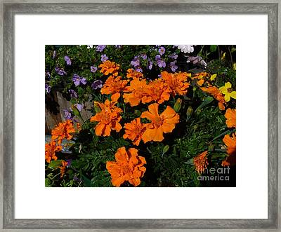 Framed Print featuring the photograph Marigolds by Jim Sauchyn
