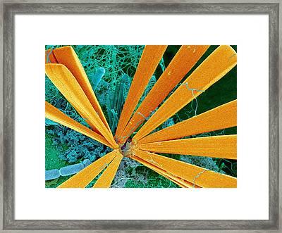 Marine Diatom Algae, Sem Framed Print by Susumu Nishinaga