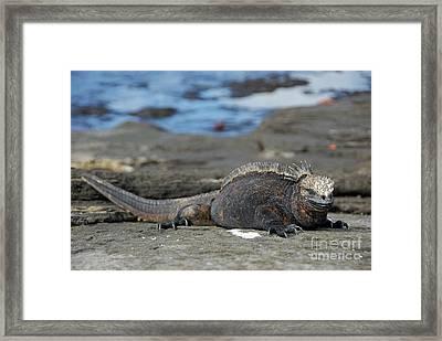 Marine Iguana Lying On Rock By Water Framed Print by Sami Sarkis