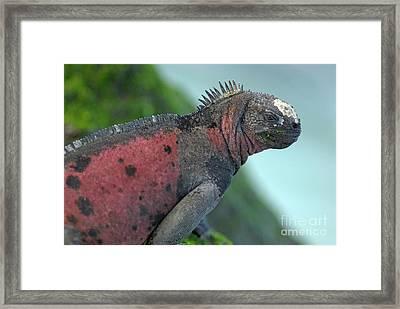Marine Iguana On Rock Covered By Green Seaweed Framed Print by Sami Sarkis