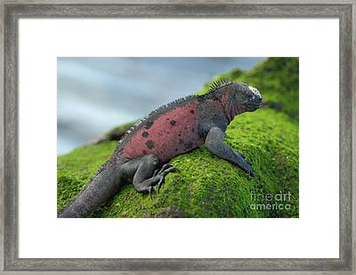 Marine Iguana On Rock Covered With Green Seaweed Framed Print by Sami Sarkis