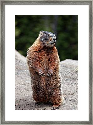 Marmot Rearing Up On Hind Legs In Yellowstone Framed Print by Trina Dopp Photography