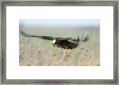 Marsh Harrier Framed Print
