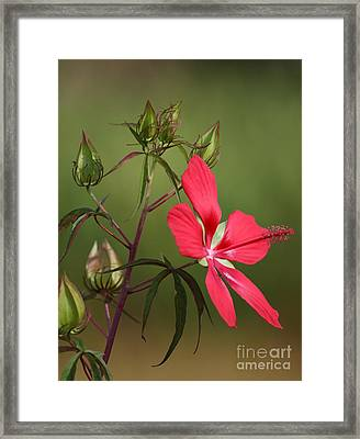 Marsh Hibiscus Framed Print by Jennifer Zelik