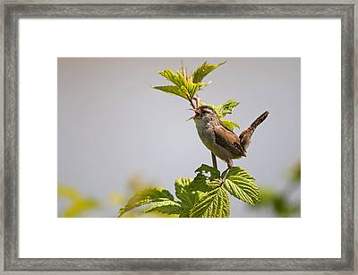 Marsh Wren Calling Framed Print by Terry Dadswell