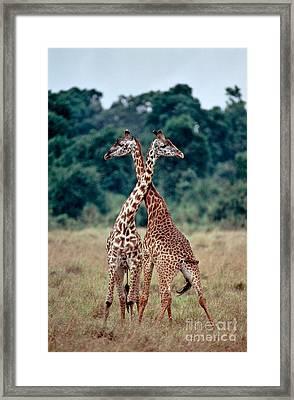 Masai Giraffes Necking Framed Print by Greg Dimijian