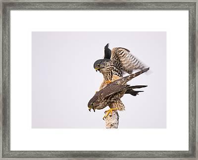 Mating Merlin Framed Print