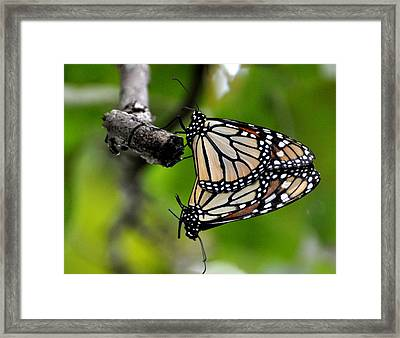 Mating Monarchs Framed Print by Marty Koch