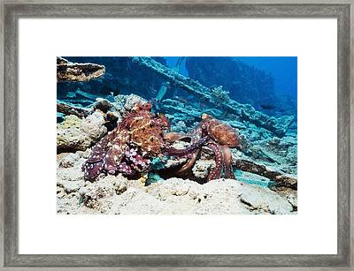 Mating Pair Of Day Octopuses Framed Print by Georgette Douwma