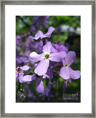Matthiola Bicornis. Night-scented Stock. Framed Print