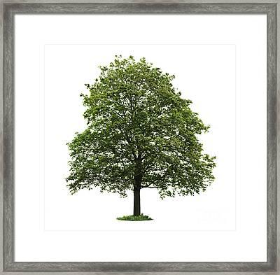 Mature Maple Tree Framed Print by Elena Elisseeva