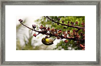 Maui Bird Framed Print