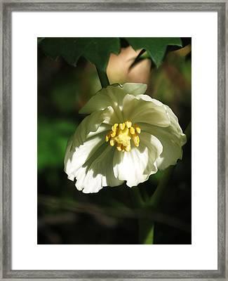 Mayapple Blossom Framed Print by Rebecca Overton