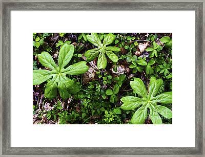Mayapples In Forest Framed Print by Thomas R Fletcher