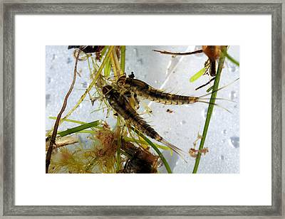 Mayfly Nymphs Framed Print by Dr Keith Wheeler