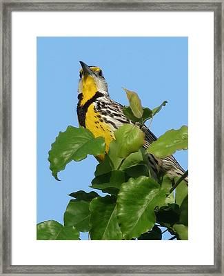 Meadowlark Framed Print by Rebecca Overton