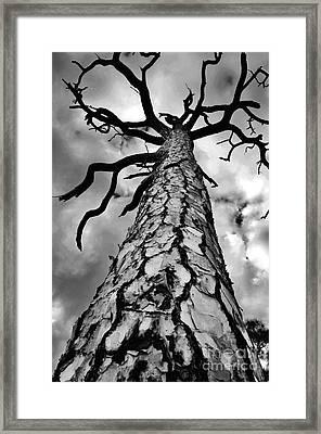 Medusa Pine Framed Print by Lynda Dawson-Youngclaus