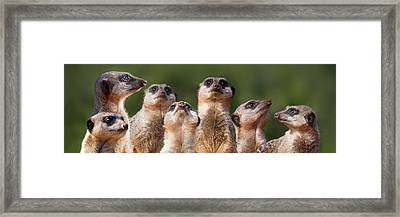 Meerkat Mob Framed Print by Julie L Hoddinott