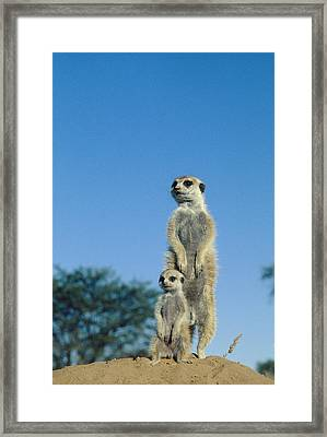Meerkats Framed Print by Peter Chadwick