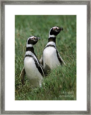 Framed Print featuring the photograph Megellanic Penguin Couple - Patagonia by Craig Lovell