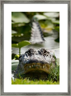 Menacing Gator Framed Print by Andres Leon