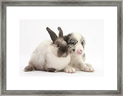 Merle Border Collie Pup With Sleepy Framed Print