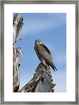 Merlin Falco Columbarius Perching Framed Print
