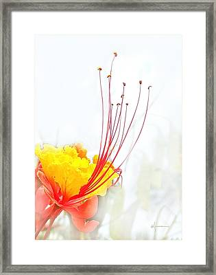 Mexican Bird Of Paradise Framed Print by Kume Bryant