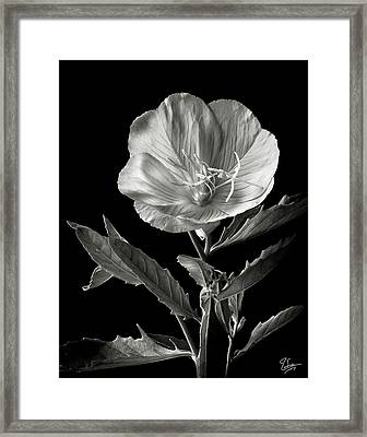 Mexican Evening Primrose In Black And White Framed Print by Endre Balogh