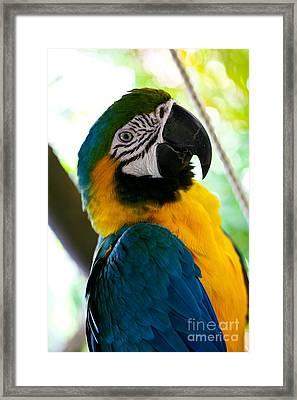 Mexican Parrot Framed Print by Natalia Babanova
